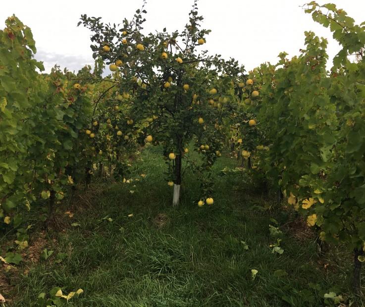Grand Cru Altenberg de Bergheim; Agroforesterie